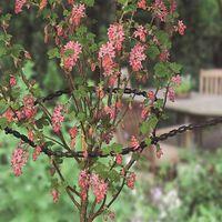 Attache Arbuste Nature 54 Cm - 3 Pcs